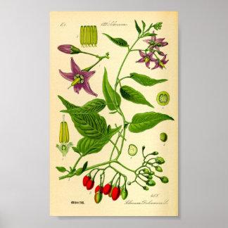 Nightshade agridulce (dulcamara de la solanácea) póster