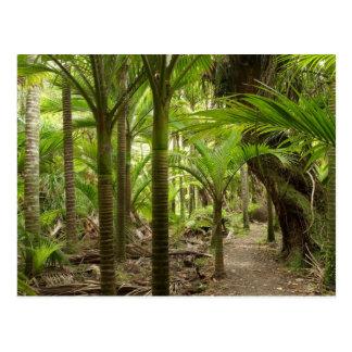 Nikau Palms, Heaphy Track, near Karamea, Postcard