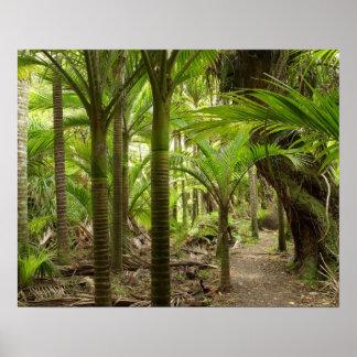 Nikau Palms, Heaphy Track, near Karamea, Print