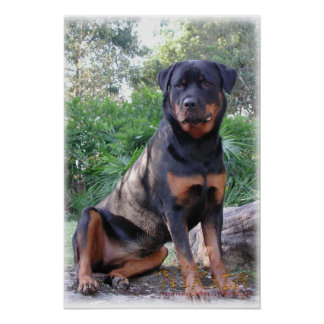 Nikita the Rottweiler sitting on rock Poster