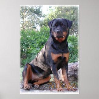 Nikita the Rottweiler sitting on rock Poster