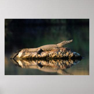Nile Crocodile (Crocodylus Niloticus) On Rock Posters