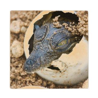 Nile Crocodile Hatchling Emerging From Egg Wooden Coaster
