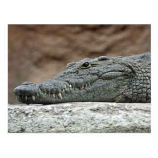 Nile crocodile postcard