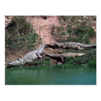 Nile Crocodiles Postcard