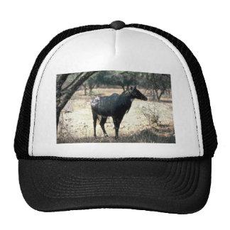 Nilgai, toro azul gorras
