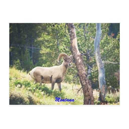 Ningunos # 839 - ovejas de Bighorn. Montana Impresión En Lona Estirada