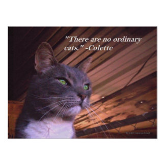 Ningunos gatos ordinarios póster