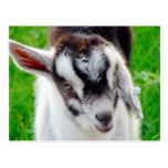 Niño bonito de la cabra tarjeta postal