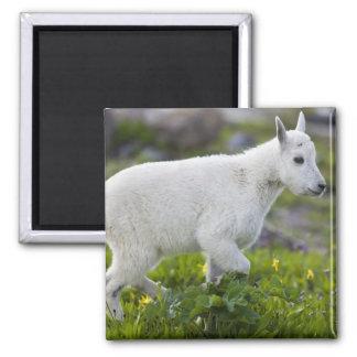 Niño de la cabra de montaña en el paso de Logan en Imán Cuadrado