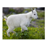 Niño de la cabra de montaña en el paso de Logan en Postales