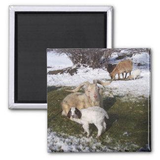 Niño de la cabra en la hierba Nevado Imán Cuadrado