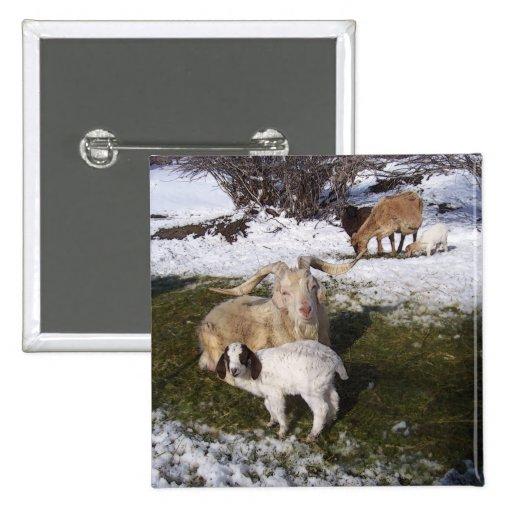 Niño de la cabra en la hierba Nevado Pins