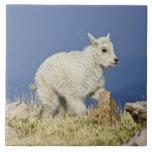 Niño o bebé de la cabra de montaña (Oreamnos ameri Azulejo Cuadrado Grande