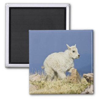 Niño o bebé de la cabra de montaña (Oreamnos ameri Imán Cuadrado