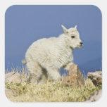 Niño o bebé de la cabra de montaña (Oreamnos ameri Colcomanias Cuadradases