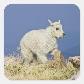Niño o bebé de la cabra de montaña Oreamnos ameri Colcomanias Cuadradases
