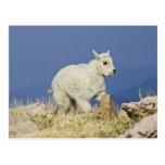 Niño o bebé de la cabra de montaña (Oreamnos Tarjeta Postal
