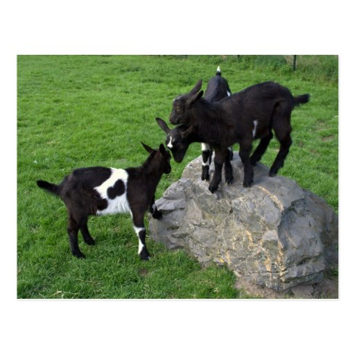 Niños de la cabra tarjeta postal