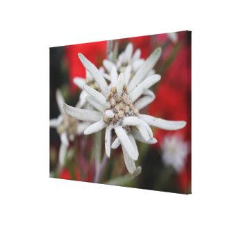 Nivale precioso del Leontopodium de Edelweiss Impresiones En Lienzo Estiradas