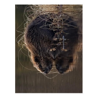 No higher resolution available Beaver_pho34 jpg S Postcard