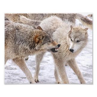 No muestre ningún miedo - lobo que muestra la cojinete