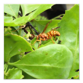 No Stinger image of wasp grazing Photograph