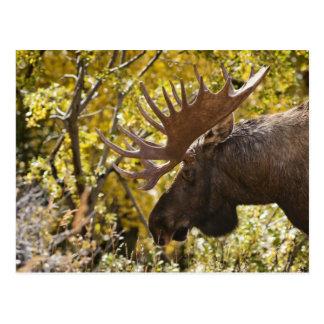 Noble Bull Moose Postcard