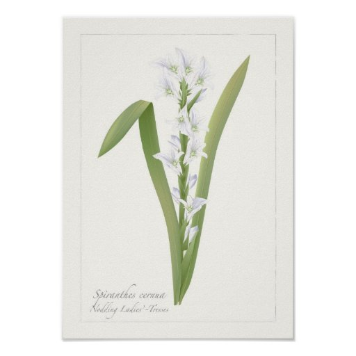 Nodding Ladies' Tresses Botanical Print