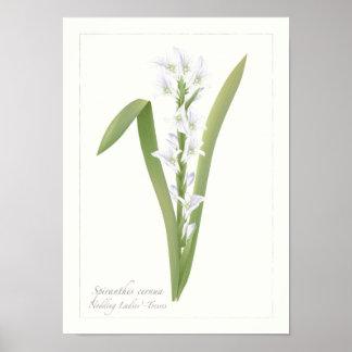 Nodding Ladies Tresses Botanical Print