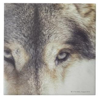Nombre latino: Lupus de Canis Azulejo Cuadrado Grande