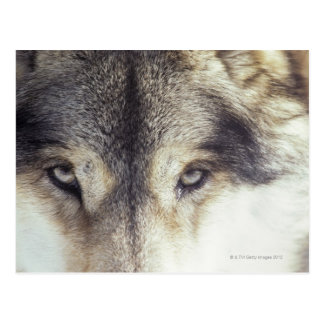 Nombre latino: Lupus de Canis Tarjetas Postales