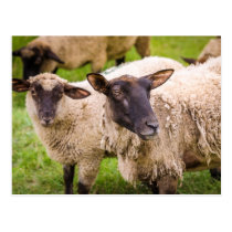Normandy Sheep | France Postcard