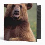 Norteamérica, California, oso negro del canela