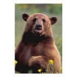 Norteamérica, California, oso negro del canela Fotografía