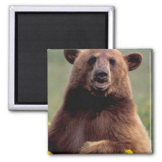 Norteamérica, California, oso negro del canela Imán Cuadrado