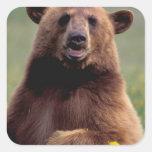 Norteamérica, California, oso negro del canela Pegatina Cuadrada