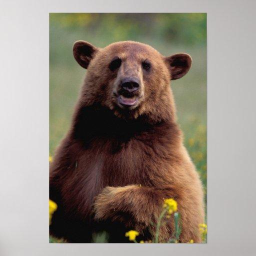 Norteamérica, California, oso negro del canela Póster