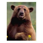 Norteamérica, California, oso negro del canela Postal