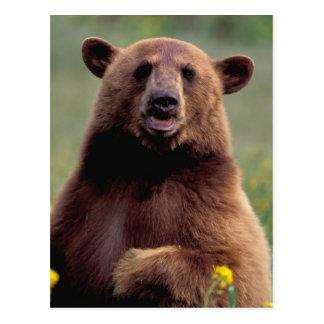 Norteamérica California oso negro del canela Tarjeta Postal