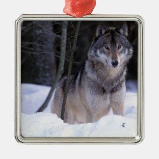 Norteamérica, Canadá, Canadá del este, lobo gris Adorno Navideño Cuadrado De Metal