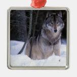 Norteamérica, Canadá, Canadá del este, lobo gris Adorno Cuadrado Plateado