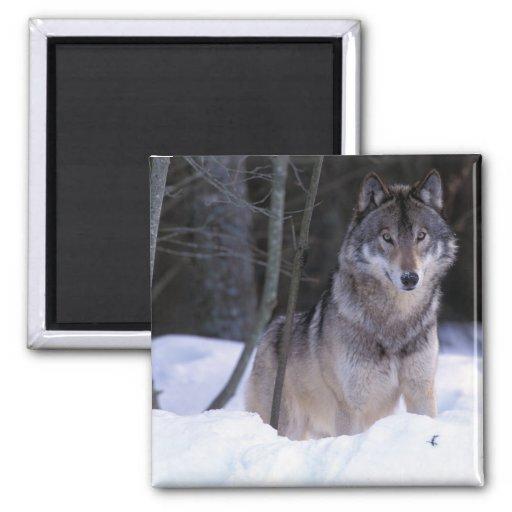 Norteamérica, Canadá, Canadá del este, lobo gris Imán Cuadrado