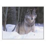 Norteamérica, Canadá, Canadá del este, lobo gris Impresión En Madera
