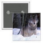 Norteamérica, Canadá, Canadá del este, lobo gris Pin Cuadrada 5 Cm