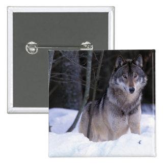 Norteamérica, Canadá, Canadá del este, lobo gris Pin