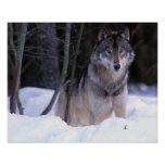 Norteamérica, Canadá, Canadá del este, lobo gris Póster