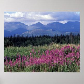 Norteamérica, Canadá, el Yukón. Floraciones del Fi Póster