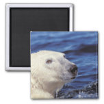 Norteamérica, Círculo Polar Ártico. Oso polar Imanes De Nevera