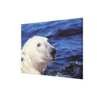 Norteamérica, Círculo Polar Ártico. Oso polar Lona Envuelta Para Galerias